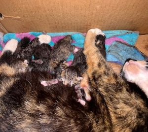 One mama cat and five brand new baby kittens nursing in a box