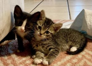 Tuxedo kitten and tabby kitten leaning together