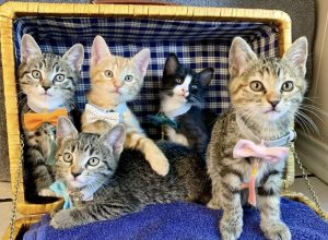 Five kittens in bow ties and tassels sitting together inside of a picnic basket
